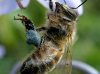 image of bee with blue pollen