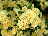 picture of Banksiae Lutea rose
