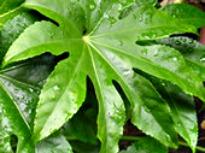 picture of fatsia japonica
