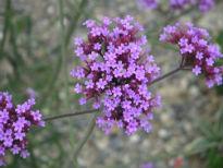 image of Verbena bonariensis