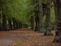 image of tall Common Lime trees