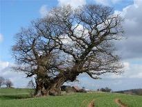 image of Sessile Oak tree