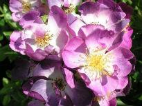 picture of Veilchenblau rose