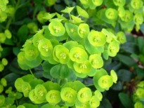 picture of Euphorbia robbiae