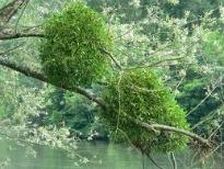 image of mistletoe growing on tree