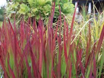 picture of Imperata cylindrica 'Red Baron'