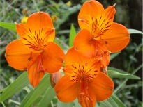 picture of Alstroemeria 'Orange King'