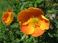 picture of Potentilla 'Tangerine'