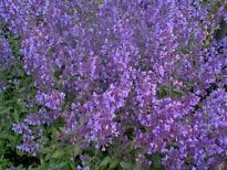 image of Nepeta mussinii 'Six Hills Giant'