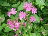 picture of campion