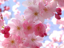 picture of cherry blossom close up