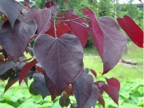 image of Cercis 'Forest Pansy'
