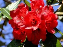 image of rhododendron