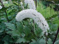 image of Actea matsumurae 'White Pearl'