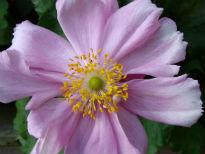 image of Anemone hybrida 'Konigin Charlotte'