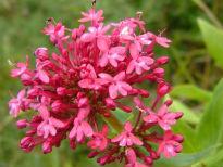 image of Centranthus ruber 'Coccineus'