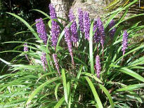 image of Liriope muscari 'Big Blue'
