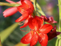 image of Schizostylis coccinea 'Major'