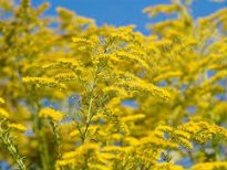 image of Solidago hybrida 'Golden Wings'