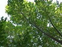 image of hornbeam tree