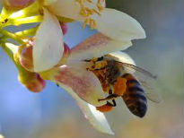 image of bee pollinating a tree flower