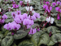 image of Cyclamen coum
