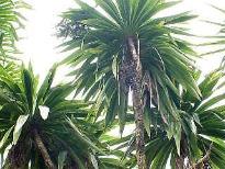 image of Cordlyine australis,