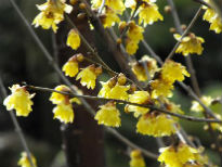 image of Chimonanthus praecox 'Luteus'