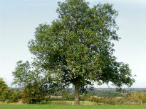 image of Ash tree