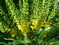 image of Mahonia japonica 'Charity'