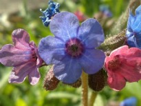 picture of Pulmonaria officinalis