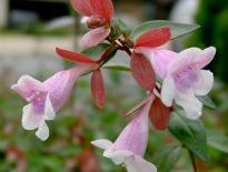 picture of abelia grandiflora