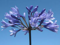 image of Agapanthus 'Big Blue'