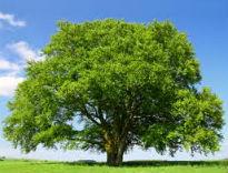 image of birch trees