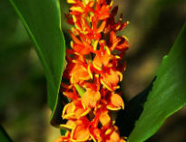 image of Hedychium densiflorum 'Assam Orange'
