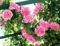 picture of Zepherine Drouhin rose