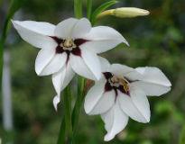 image of Acidanthera bi-color murielae