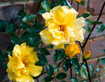 picture of Golden Showers rose