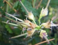 image of nasturtium