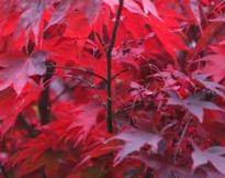 image of Acer palmatum 'Atropurpureum'