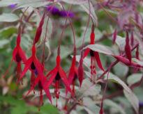 image of Fuchsia magellanica