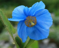 image of Meconopsis