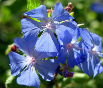 image of Ceratostigma willmottianum