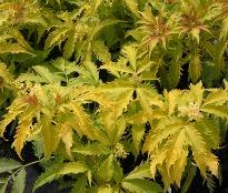 picture of Sambucus racemosa 'Plumosa Aurea'