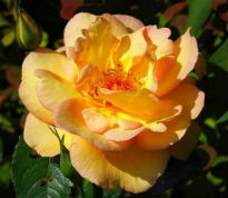 picture of Maigold rose