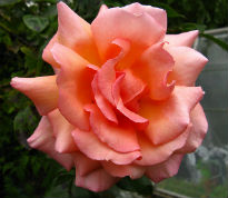 picture of Compassion rose