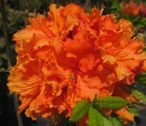 picture of Azalea 'Gibraltar'