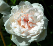 picture of Madame Alfred Carriere rose