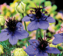 image of Nigella damascena