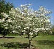 image of cherry tree